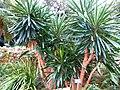13-11-26-0151 Yucca gigantea Lem..JPG