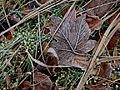 18-01-2015 Frosty Leafes.JPG