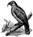 1911 EB Phillip-Island Parrot.png