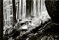 1936. White pine logs infested with Dendroctonus monticolae being burned at Mt. Rainier National Park, Washington. (32652329844).jpg