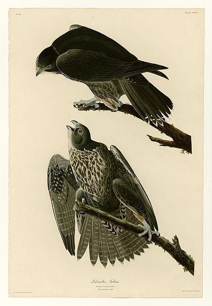 File:196 Labrador Falcon.jpg