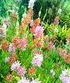 1 Erica verticillata with sunbird 2.jpg