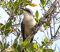 1st mangrove cuckoo sighted ... (6952271113).jpg