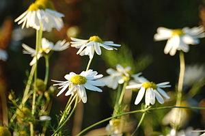 English: Camomile (Tripleurospermum perforatum...