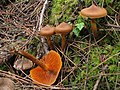 2009-12-01 Cortinarius cinnamomeus (L.) Fr 67448.jpg