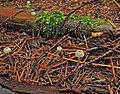 2011-10-15 Roridomyces rorida (Fr.) Quél 175004.jpg