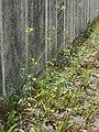 20120628Diplotaxis tenuifolia7.jpg