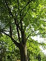 20120821Ahorn Friedhof Hockenheim4.jpg
