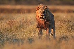 2012 Lion Gemsbokvlakte.jpg