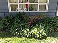 2013-05-04 14 04 57 Azalea and hostas behind the house at 988 Terrace Boulevard in Ewing, New Jersey.JPG