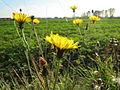 20131019Picris hieracioides1.jpg