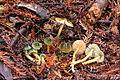 2014-03-30 Gliophorus psittacinus (Schaeff.) Herink 412339.jpg