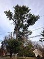 2014-12-30 13 04 57 Eastern White Pine along Linwood Avenue in Ewing, New Jersey.JPG