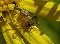 2015.06.26.-07-Mannheim Vogelstang--Braune Krabbenspinne-junges Weibchen.jpg