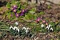 2015 Galanthus nivalis and Primula vulgaris.jpg