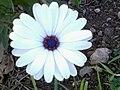 2016-01-07 13.17.19زهرة ا الأقحوان الأبيض في إحدى المساحت الخضراء بمدينة شرشال.jpg