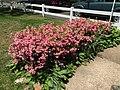 2017-05-14 12 21 45 'Rosebud' Azaleas blooming along Terrace Boulevard in Ewing Township, Mercer County, New Jersey.jpg