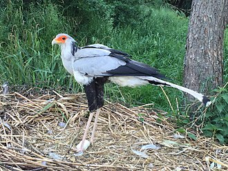 Secretarybird - Captive secretarybird with two eggs in its nest.
