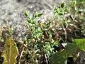 20171118Arenaria serpyllifolia.jpg