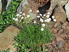 2018-05-22 (111) Armeria maritima (white sea thrift) at Bichlhäusl in Frankenfels, Austria.jpg