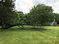 2019-05-23 14 44 06 A Cherry tree broken during a storm, with all the lower leaves having been eaten by deer, along a walking path in the Franklin Glen section of Chantilly, Fairfax County, Virginia.jpg