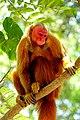 2019-10-06 Uakari Monkey 02.jpg