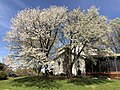 2020-04-06 13 54 07 Cherry trees blooming along Birch Bark Court in the Franklin Glen section of Chantilly, Fairfax County, Virginia.jpg
