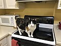2020-04-27 19 05 18 A Calico cat looking for food in a kitchen in the Franklin Farm section of Oak Hill, Fairfax County, Virginia.jpg