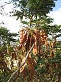 28-05-2017 Gum arabic (Acacia nilotica) seedpods, Praia da Maré das Porcas (2).JPG