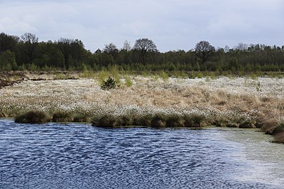 2G5A4302 Birken und Woilgrasbüte im Recker Moor.jpg
