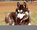 3217-siberian-husky-dog (20314366700).jpg