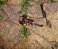 710px-Scorpion 006.jpg