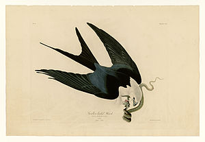 "Swallow-tailed kite - Plate 72 of the Birds of America by John James Audubon, depicting the swallow-tailed ""hawk,"" or kite"