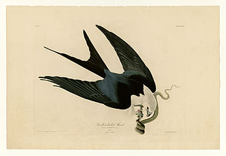 """Swallow-tailed kite - Plate 72 of the Birds of America by John James Audubon, depicting the swallow-tailed """"hawk,"""" or kite"""