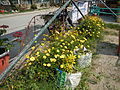 7380jfYellow flower Philippines Pandacaquifvf 12.JPG