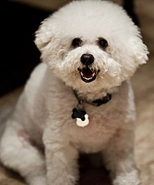 Toy dog - Wikipedia, the free encyclopedia