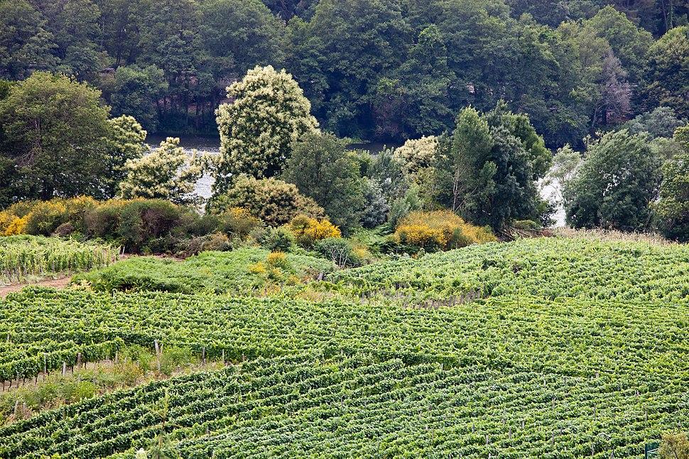 A Arnoia - Viñedos de ribeiro á beira do Miño - Galiza