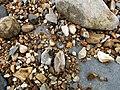 A Pyrite Ammonite on Charmouth Beach.jpg