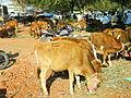 A calf in market2.JPG