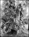 A philodendron plant, ca.1920 (CHS-5399).jpg