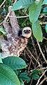 A preguiça do bicho-preguiça.jpg