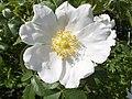 A white dog rose - geograph.org.uk - 192263.jpg