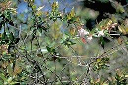 Abeliarandiflora1web