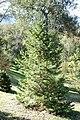 Abies pindrow - Quarryhill Botanical Garden - DSC03474.JPG