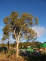 Acacia heterophylla 2.JPG