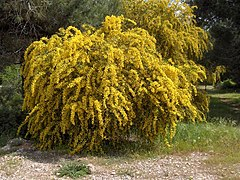 Acacia saligna(01).jpg