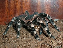 Acanthoscurria Geniculata L10 eating a frog.JPG