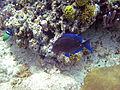 Acanthurus coeruleus (blue tang) (San Salvador Island, Bahamas) 2 (15527673164).jpg