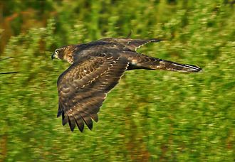 Northern goshawk - Goshawks are particularly agile hunters of the woodlands.