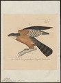 Accipiter rufiventris - 1835 - Print - Iconographia Zoologica - Special Collections University of Amsterdam - UBA01 IZ18300091.tif
